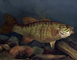 """Smallmouth Bass"", Michael Andruch IV"