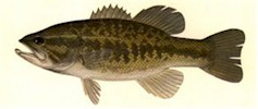 Largemouth Bass - Thompson, 1980