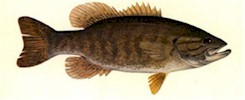 Smallmouth Bass - Thompson, 1980